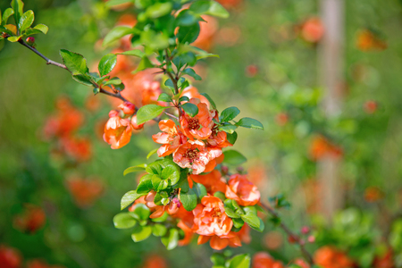 Japanese quince branch - blossoming Stock Photo