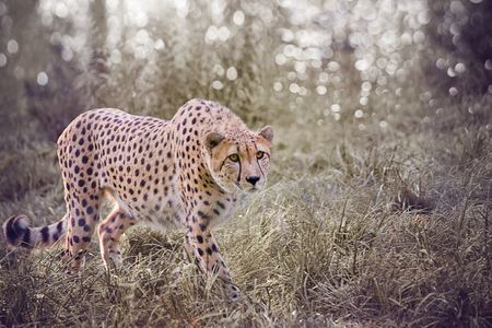 Cheetah in the zoo park