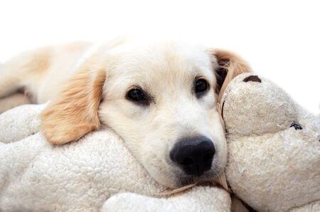 Cute Golden Retriever puppy laying with his teddy. Archivio Fotografico