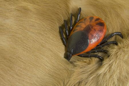 Large artificial Encephalitis tick on fur of golden retriever dog