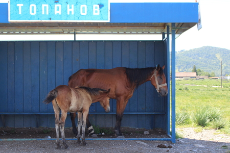 Horse with foal. A brown horse with a foal is a hiding from the summer. Behind them you can see the village houses.