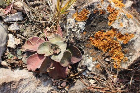 Mountain flower. Succulent with red leaves grows in the wild. Surrounded by gray stones. On the rocks grew an orange lichen. Close-up, top view.