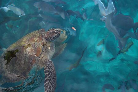 Wild big turtle is in the clear blue sea water. Natural habitat of the reptile. The turtle swims on the surface of the sea. The material can be used as a backdrop for tourist destinations.