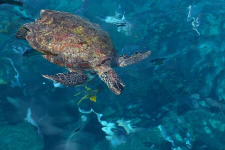 A large sea turtle, surrounded by a tropical fish in a soft focus, floats in the thickness of transparent sea water. On the surface of the water.