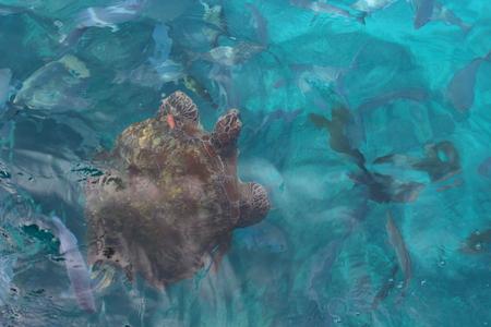 Wild big green turtle in nature of Andaman sea near Similan islands