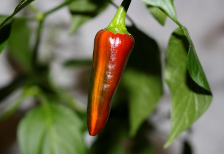 Hot pepper rare variety Fish (Capsicum annuum) on the bush. Strips on surface the fruit are characteristic for pepper Fish Stock Photo
