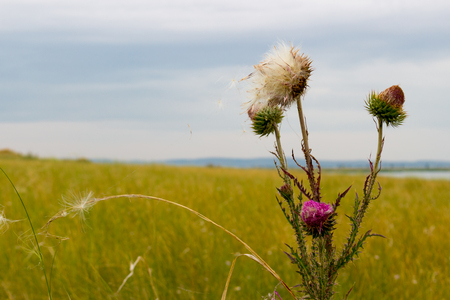 Thistle thorns on meadow. Summer background with copy space