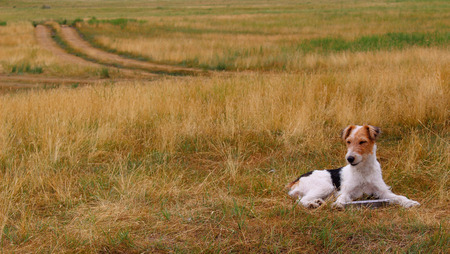 Funny background with a young wire Fox terrier dog with a harmonica lying on the dry summer grass and thinking something, planning, suspecting. Dog screwing up the eyes.