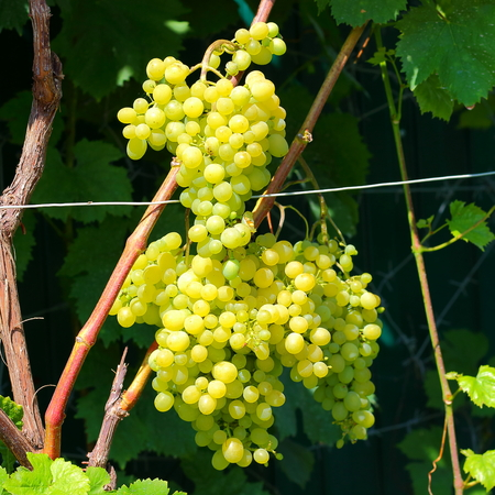 Sweet and tasty white grape bunch on the vine in summer garden Banque d'images - 122782170