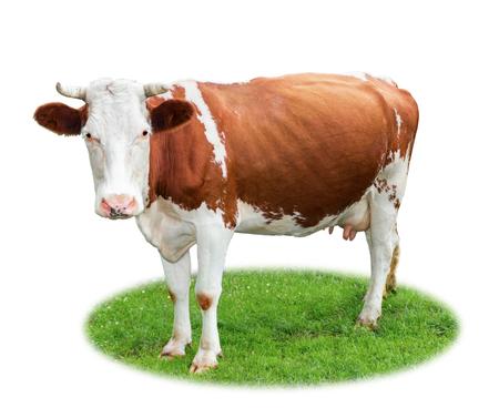 Porträt einer netten glücklichen Kuh, die auf grünem Gras lokalisiert auf weißem Hintergrund steht. Nutztierkonzept und Bio-Gesundheitsnahrung Standard-Bild