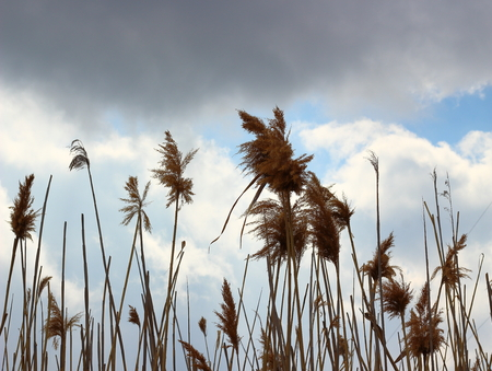 Tall dry reeds swaying in the wind at overcast spring day. Abstract natural background