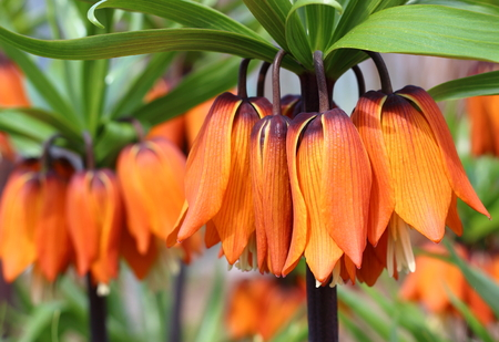 Beautiful orange flowers of the royal grouse in sunny garden. Fritillaria imperialis or crown imperial, imperial fritillary, Kaiser's crown. Springtime nature background. Close-up, selective focus