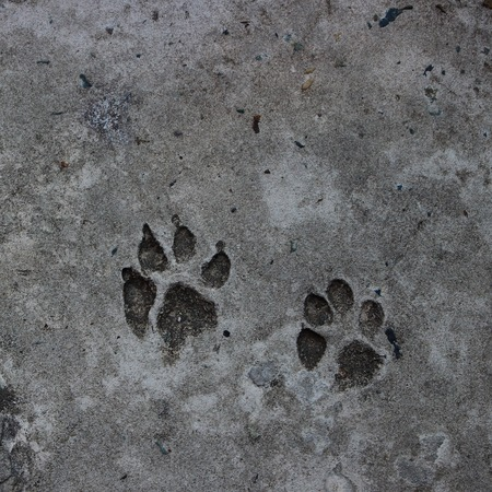 Two footprint of a dog on cement concrete floor background. Abstract animal track texture. Paw print on the road. Top view.