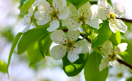 A branch of pears with delicate white flowers in the spring garden is lit from behind by the suns rays on a blurred natural background. Selective focus