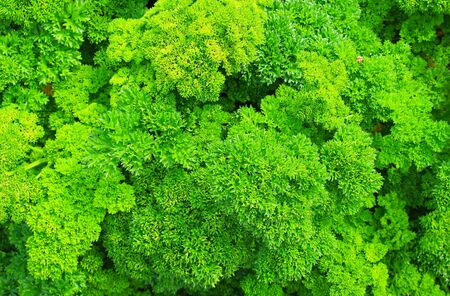 Green foliage of curly parsley 'Petroselinum' background. Essential oil and curly parsley fruits are prohibited for use in the production of biologically active food additives. Selective focus