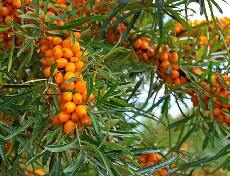 A lot of ripe orange berries of sea buckthorn 'Hippophae' on the branches of the bush in green foliage. 版權商用圖片