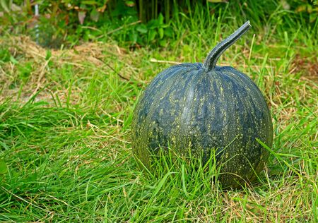 Full round dark green pumpkin in sunny garden. Home grown organic squash. Natural background with copy space for Thanksgiving Day or Halloween. Selective focus