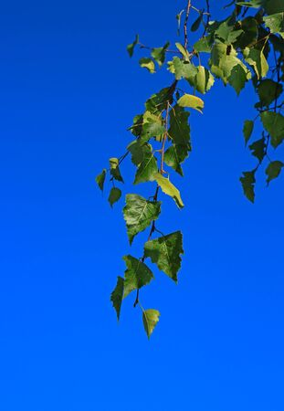 Hanging birch branch with green leaves against a bright blue sky background