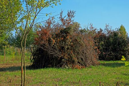A huge pile of sawn branches of sea buckthorn in an autumn garden on a sunny day. Equipped campfire place in the country