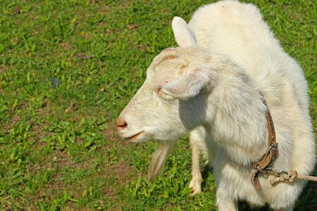 Portrait of a white hornless goat with a collar and a rope in a spring meadow. Selective focus