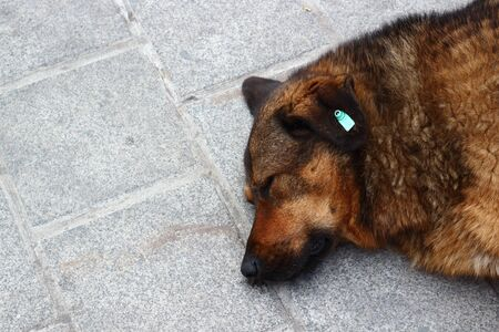 Homeless dog sleeping on the sidewalk. The ginger dog was tagged in the ear. Copy space, blurred background