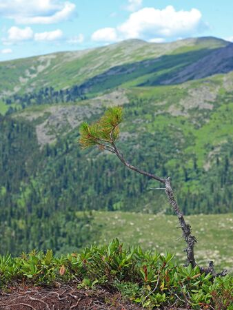 Small cedar tree growing on a boulder on top of a mountain range in Ergaki national park, Siberia, Russia