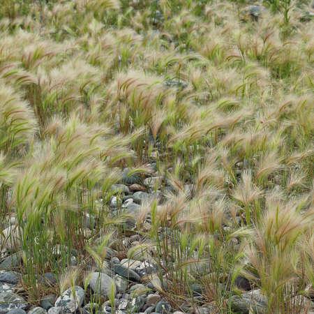 Fluffy grass of foxtail barley or Hordeum jubatum, bobtail barley grows on pebbles. Summer natural background