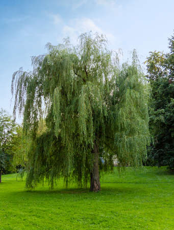 Weeping willow tree in summer park. Salix babylonica or Babylon willow tree.