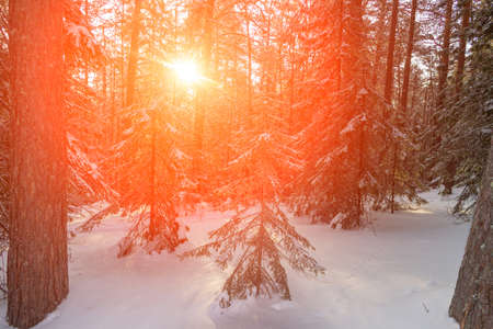 The snow-covered winter coniferous forest is illuminated by the bright rays of the sun. Siberian taiga in frost. Sunbeams through trees. Sunrise, sunset in cold snowy forest.Beautiful scenic landscape 스톡 콘텐츠