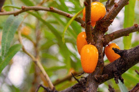 Close-Up of ripe orange sea buckthorn berries growing on shrub in autumn garden. Seasonal berry harvest