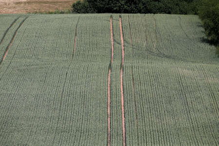 Green wheat field, and technological tractor furrows. Growing crops in the fields. View from above. Stock Photo