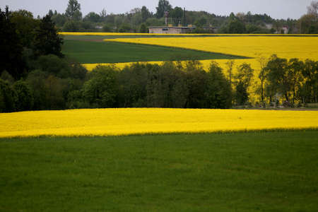 Fields and hills covered in bright yellow canola, colza or rapeseed flowers. Colorful blossom field of colza. Lithuania