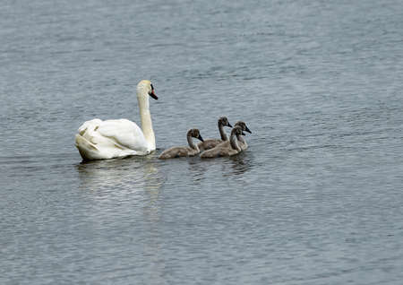 Swan and cygnets on the water of lake  Lithuania. Archivio Fotografico