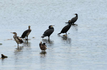 Cormorants perched on poles that emerge from the flat water patiently wait to catch a fish. Nida, Lithuania.  Foto de archivo