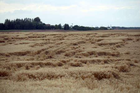 Wheat field flattened by rain, ripe wheat field damaged by wind and rain. Lithuania