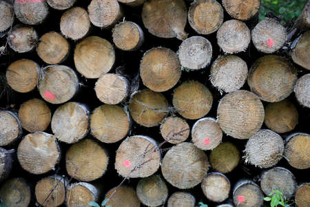 Cut tree trunks in the forest, Kaunas district
