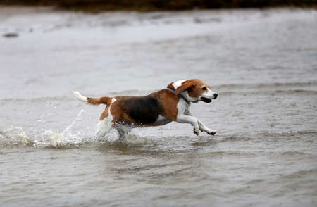 Estonian Hound dog outdoors on a cloudy day in the water
