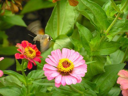 sphingidae: Hummingbird hawk moth. Flying sphingidae above the red flower.