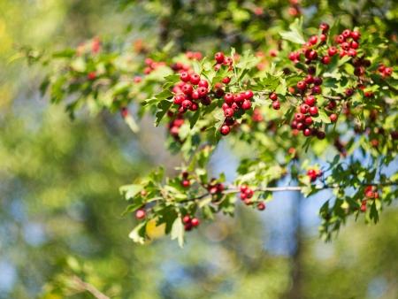 crata�gus: Hawthorn Crataegus oxyacantha La rama con frutas sobre un fondo de follaje borrosa