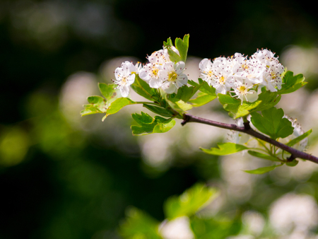 Blooming branch of hawthorn in spring Stock Photo