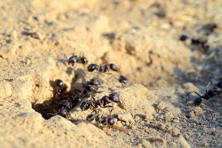 ameisenhaufen: Schwarze Ameisen in der W�ste in der N�he U-Bahn-Ameisenhaufen Lizenzfreie Bilder