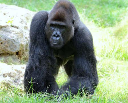 extant: Gorilas el g�nero m�s grande de los primates existentes por tama�o, que habitan en los bosques de �frica central. Foto de archivo