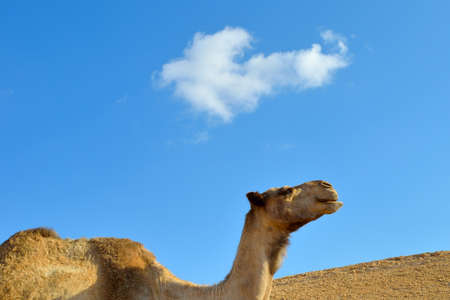 Portrait of camel in desert on sky background. Negev, Israel. photo