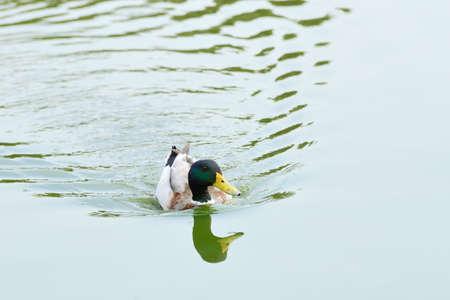 Floating male of Mallard or Wild Duck (Anas platyrhynchos) Stock Photo - 18211400