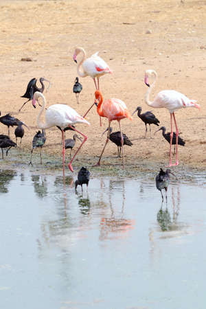 Group of birds (Flamingo and Glossy Ibis) on the coast. photo