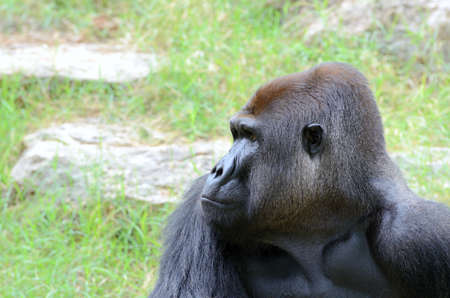 extant: Gorilas el g�nero m�s grande existente de los primates, que habitan en los bosques de �frica central.