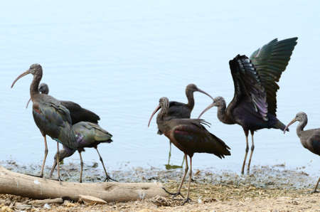 The Glossy Ibis (Plegadis falcinellus) is a wading bird in the ibis family Threskiornithidae. This is the most widespread ibis species, breeding in scattered sites in warm regions of Europe, Asia, Africa, Australia, and the Atlantic and Caribbean region o photo