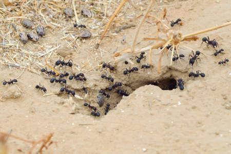 Black ants in desert near an anthill Stock Photo