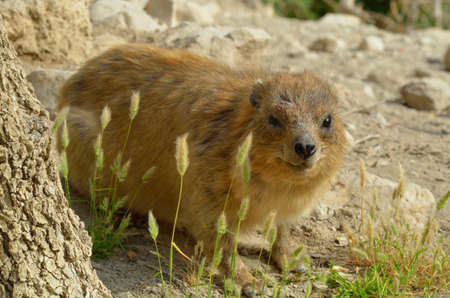terrestrial mammal: Syrian rock hyrax (Procavia capensis) medium-sized terrestrial mammal, found across Africa and the Middle East.