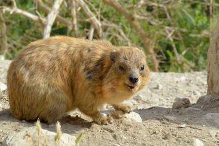 terrestrial mammal: Syrian rock hyrax (Procavia capensis) medium-sized terrestrial mammal Stock Photo